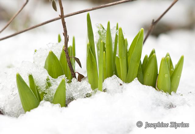 Fotogarie Pflanzenblätter im Schnee